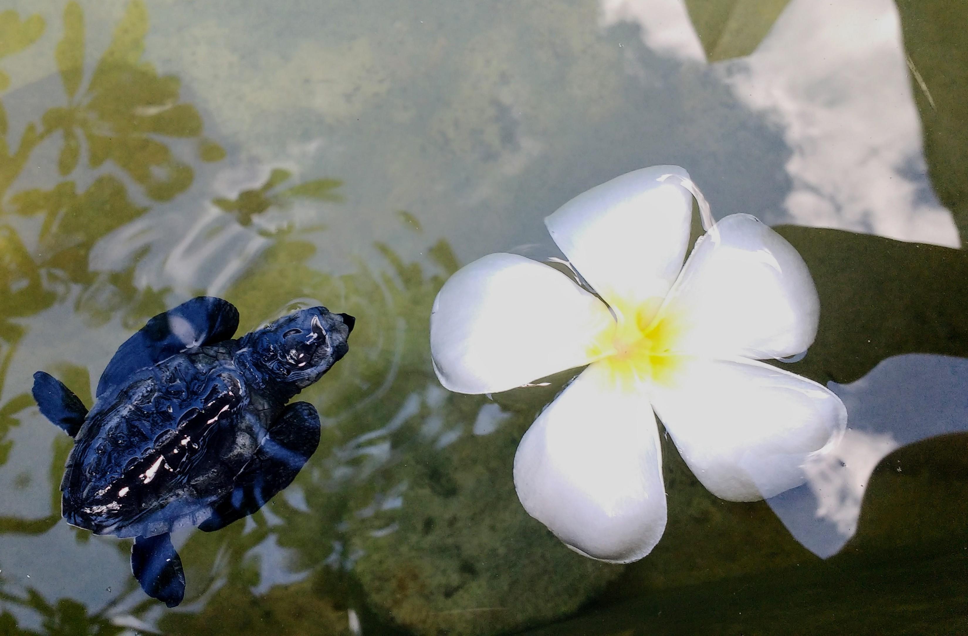 Sri Lanka baby sea turtle